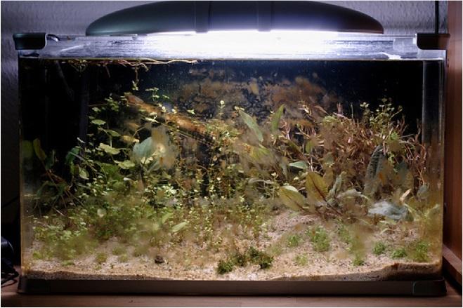 rêu hại trong bể thủy sinh