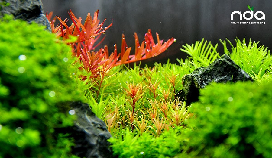 vảy ốc xanh, vảy ốc đỏ trong bể thủy sinh