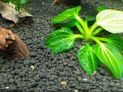 cây thủy sinh trầu bị thiếu chất