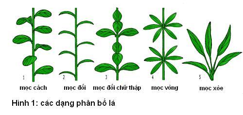 các dạng phân bố lá
