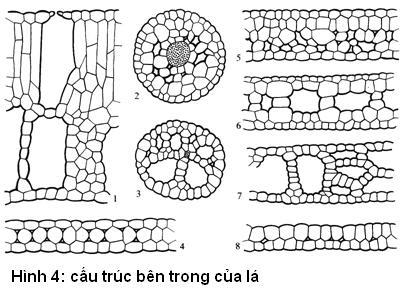 cấu trúc bên trong của lá