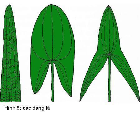 các dạng lá