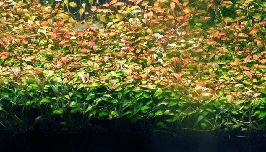 cây thủy sinh trân châu nhật màu đỏ