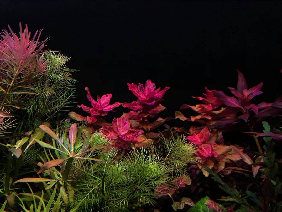 cây thủy sinh màu đỏ đậm