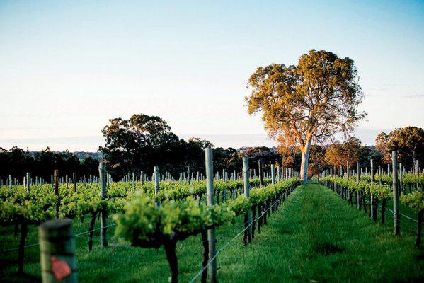 位於南澳麥克拉倫谷(McLaren Vale)地區的Yangarra,是擁有有機和生物動力農法認證的葡萄園酒莊。