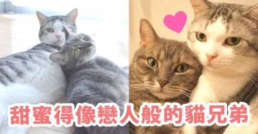 閃瞎我的眼睛了!喜歡互相舔舔的「超恩愛貓兄弟」~簡直像熱戀中的情侶!