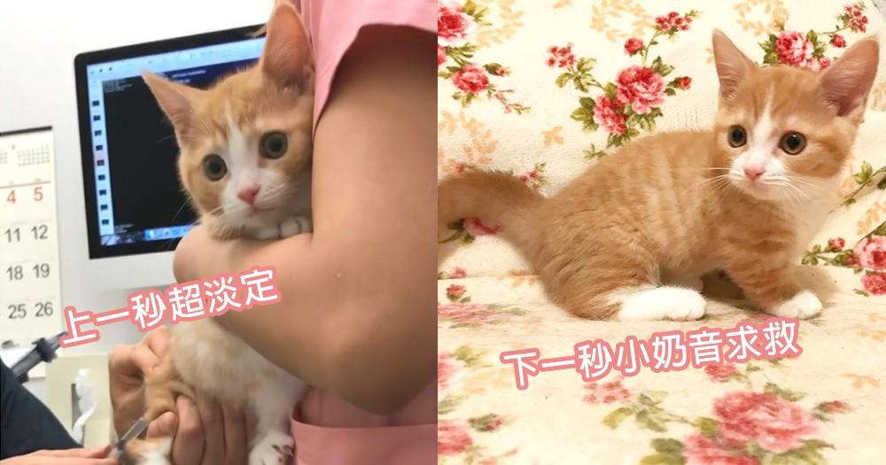 讓網友都覺得心疼!小貓咪打預防針可憐叫出小奶音,下秒淡定於懷裡四處偷看~