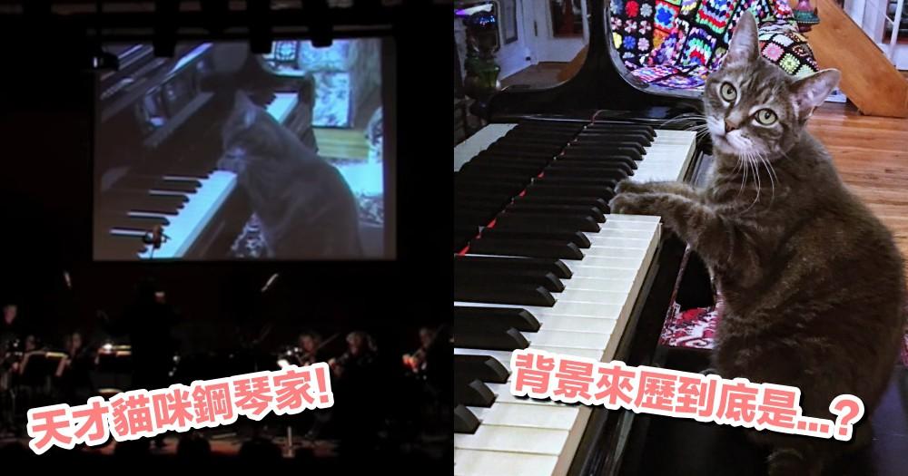 連指揮官都要閃邊站!貓咪諾拉擔任首席鋼琴手,領銜交響樂團共奏『鋼琴協奏曲』!