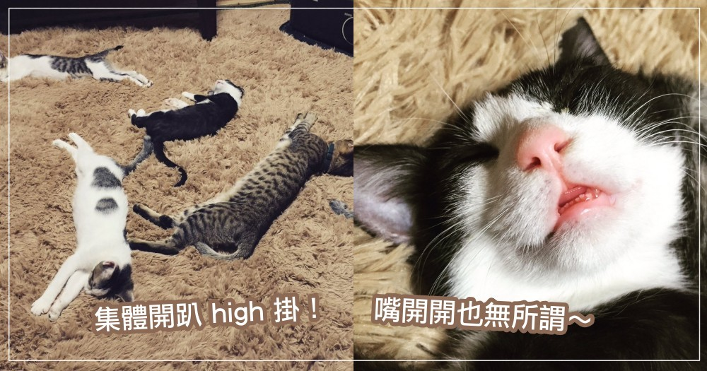 喵星人集體 hgih 掛!日本貓奴買了「這樣東西」孝敬主子,竟讓貓貓集體開趴昏睡~