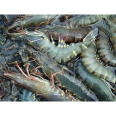 Large Tiger prawns