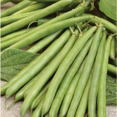 Medium green beans