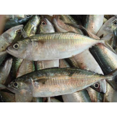 kembung banjar - indian mackerel