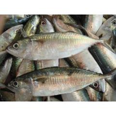 kembung banjar - indian mackerel 1