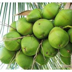 green coconuts 1