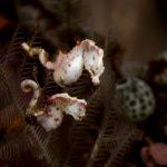 Pontohi's Pygmy Seahorse(Hippocapus pontohi)