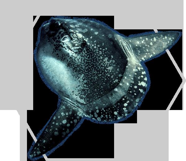Indonesia-Mola-Mola1