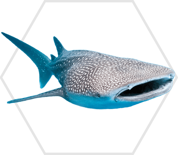 Philippines-Whale-Shark1