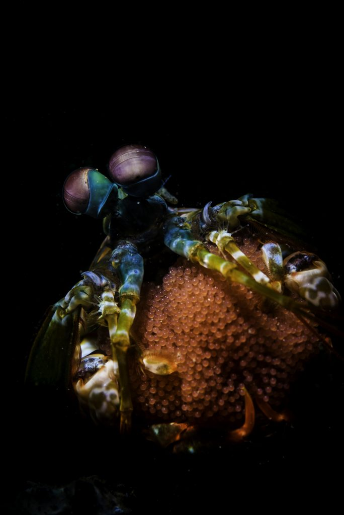 Peacock Mantis Shrimp with Eggs