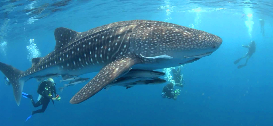 Anamas Diving - Whaleshark