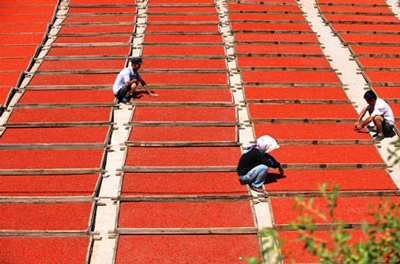 Harvesting and Drying Chinese Wolfberry Goji Berries. Image size:400x264px
