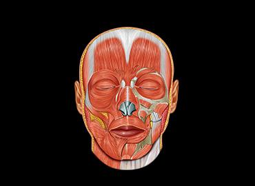 Anatomy-Head and Neck
