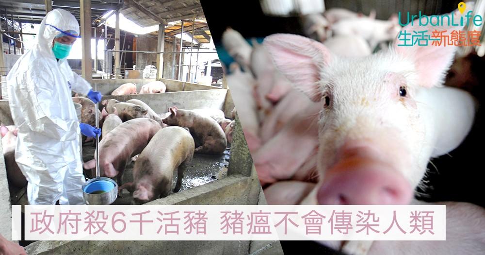 【非洲豬瘟】政府殺6千活豬 食安中心:不會傳染人類