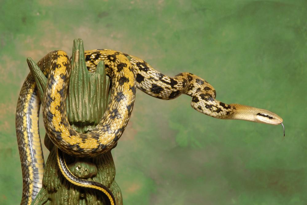 在《醫學病毒學雜誌》上的一項新研究進一步指出,有證據顯示,引發武漢肺炎的2019新型冠狀病毒在傳到人類之前,很可能寄生在蛇身上。