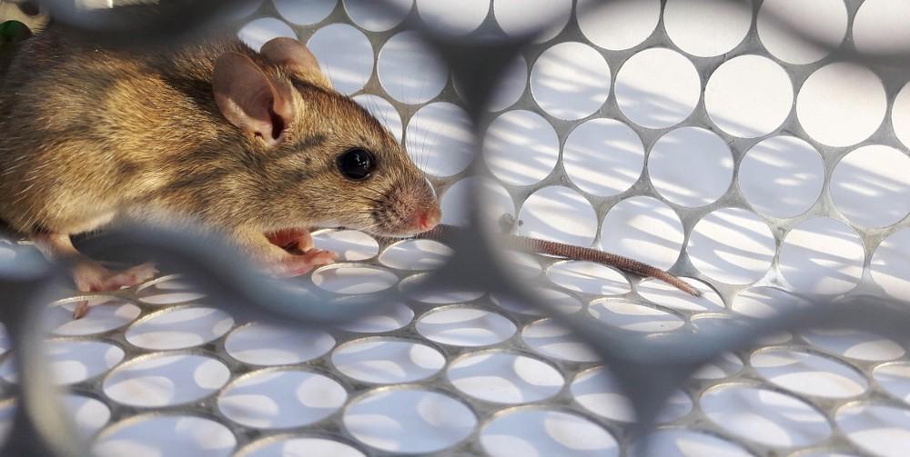 漢坦病毒患者主要透過直接接觸受感染齧齒動物的糞便、唾液或尿液,或通過吸入其霧化排泄物中的病毒而染病。