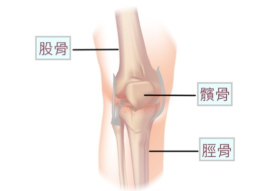 膝關節由大腿骨(股骨)、小腿骨(脛骨)和膝蓋骨(髕骨)組成。