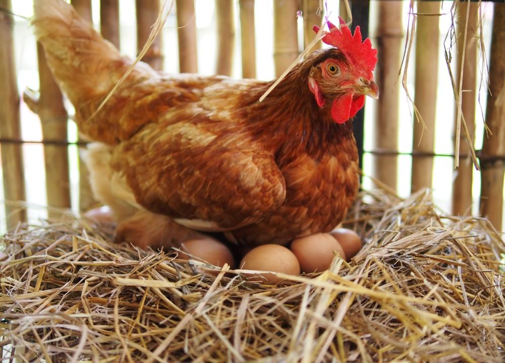 雞蛋的顏色取決與雞隻的品種和餵養的飼料。