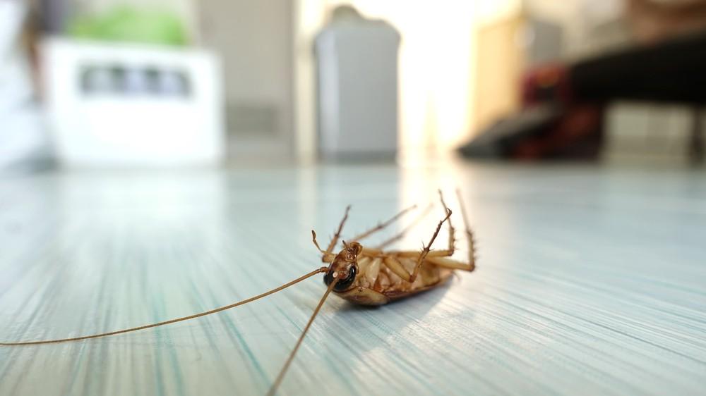 噴灑肥皂水可以堵住蟑螂的呼吸器官使其致死。