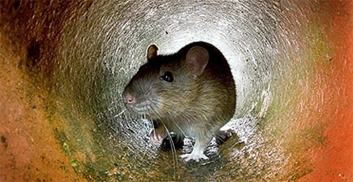 Rats truncate