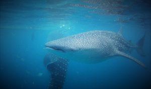 Oslob 鯨鯊共游