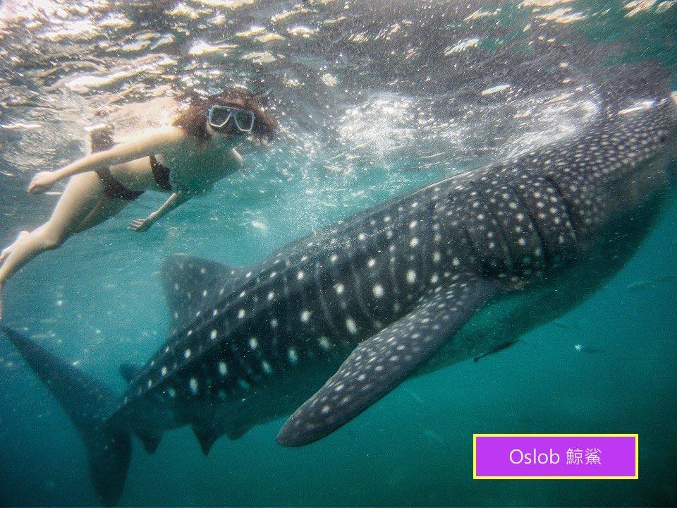 菲律賓遊學 鯨鯊