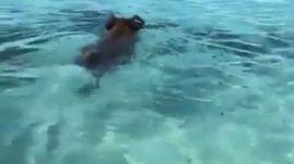 Đảo lợn, nhìn mấy ẻm đáng yêu quá, nước biển trong xanh đẹp
