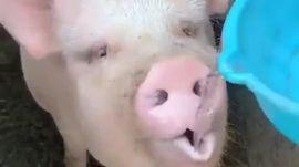Uống nước theo phong cách Lợn
