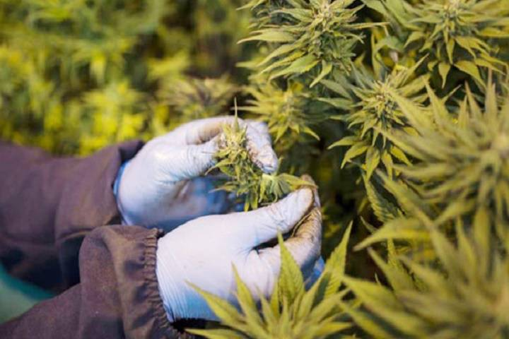 un removes cannabis from 'most