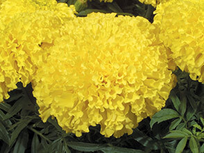 maxima-yellow