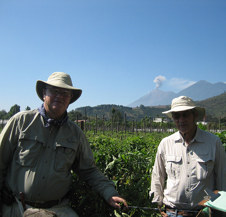 Guatemalan farmers regain profitability thanks to bacterial wilt resistance in East-West Seed Tomatoes
