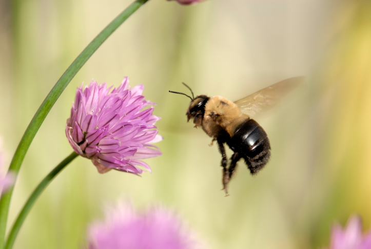 Bee with Chive Flowers.jpg