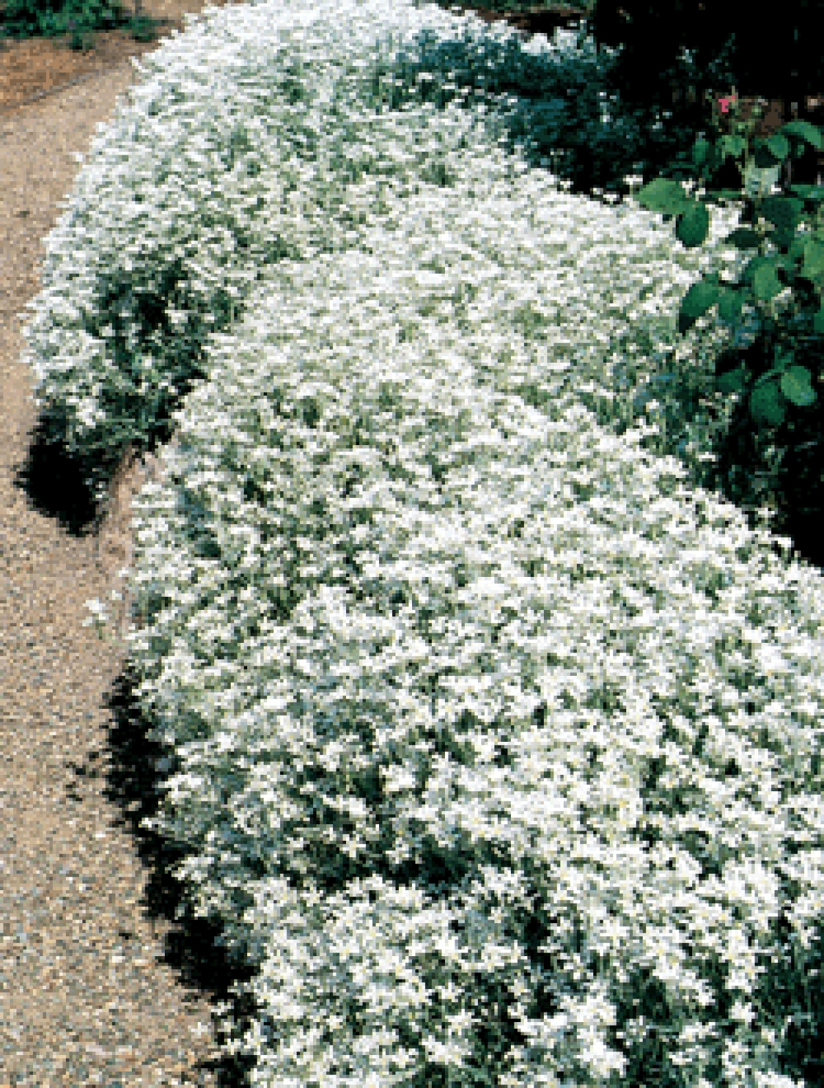 Snow In Summer Seeds Cerastium Biebersteinii My