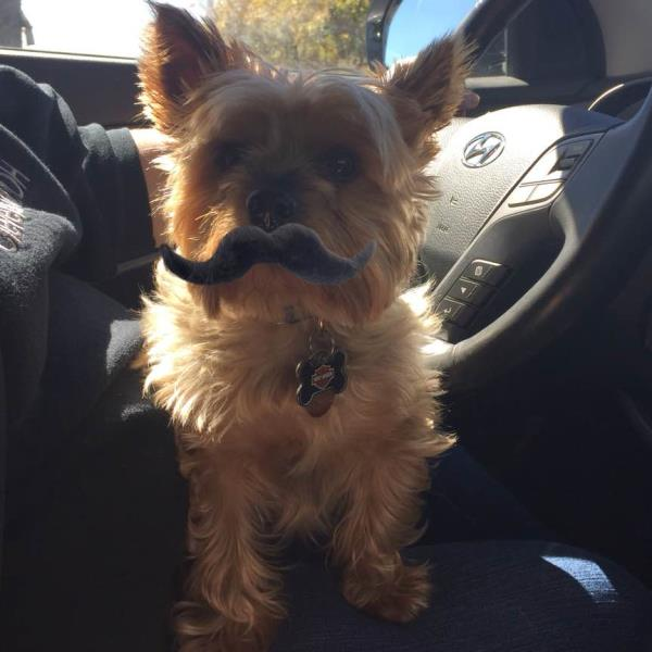 This is my dog max with a mustache  - by Holly Kisner, Washington