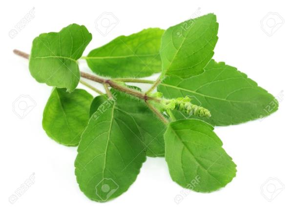 Tulsi Leaf Suppliers In Madurai