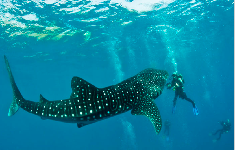 菲律賓觀光勝地-鯨鯊游泳