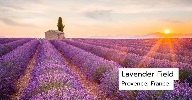 ทุ่งดอกลาเวนเดอร์, Provence France
