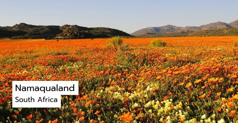 ทุ่งดอกไม้ Namaqualand, South Africa
