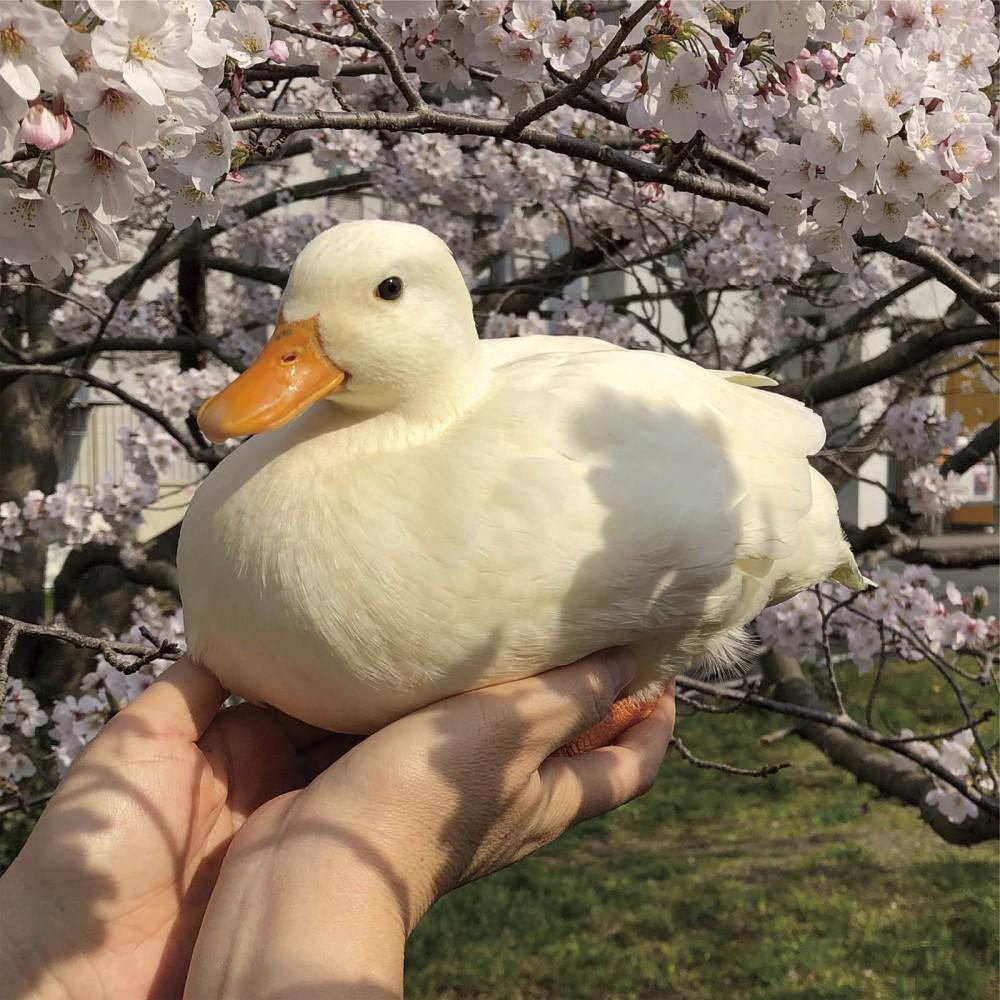 相中有一對雙手在樹下捧著一隻超肥美的白色鴨仔