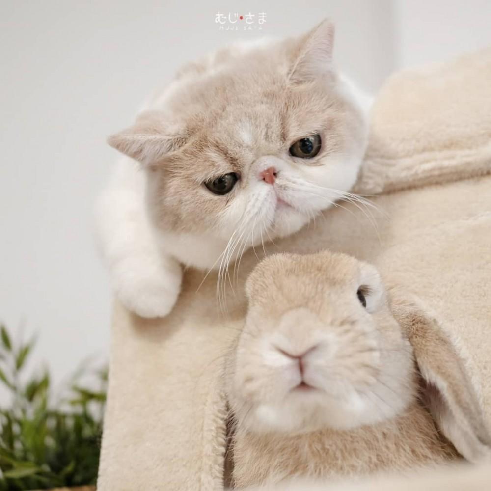異國短毛貓Mumaru博美犬Muji和兔子Miku
