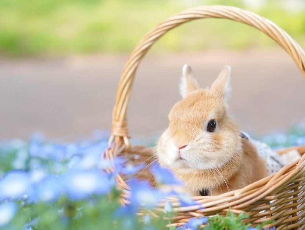 荷蘭侏儒兔