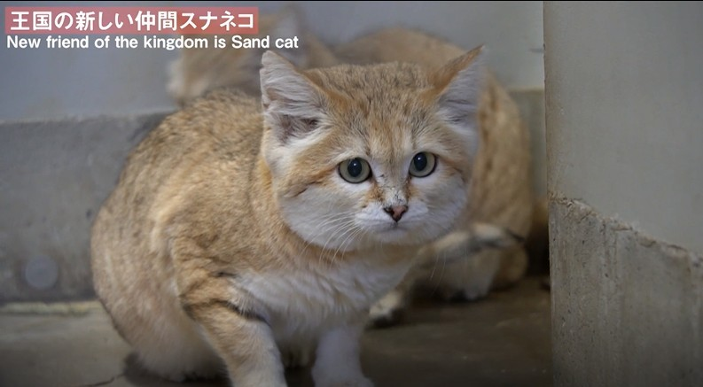 沙漠貓日本那須動物王國